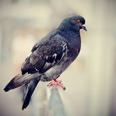 Blue Rock Pigeon.