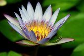 Frog on Lotus Petal