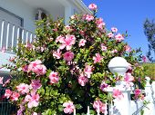picture of rosa  - Chinese hibiscus Latin name rosa sinensis flowering - JPG