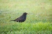 Blackbird Collecting Food