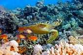 stock photo of coral reefs  - Sea turtle on the coral reef in the red sea - JPG