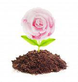 Rose seedling growing in a soil.
