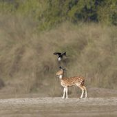 Spotted Deer And Black Drongo In Nepal