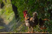 domestic hen and rooster, Nepal