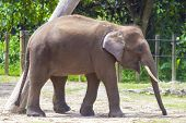 pic of indian elephant  - Indian Elephant child in the zoo  - JPG