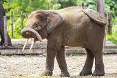 foto of indian elephant  - Indian Elephant child in the zoo  - JPG