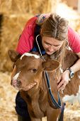 foto of veterinary  - Veterinary on a farm performing a physical examination in a cow - JPG