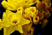 stock photo of daffodils  - A bunch of yellow daffodils in vase isolated on black violet background - JPG