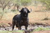 stock photo of mud  - Buffalo Bull enjoying a mud bath on a sunny day - JPG