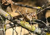 picture of mandible  - Grasshopper on trunk of juniper in sunny day - JPG