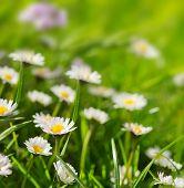 stock photo of meadows  - White daisies meadow summer flower meadow  - JPG