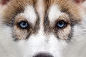image of husky  - Closeup Blue Eyes Siberian Husky Puppy  isolated - JPG