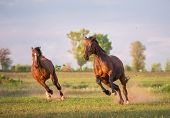 foto of wild horse running  - two brown horses are running in the green field - JPG