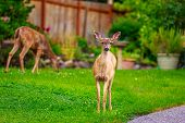 picture of mule  - Wild mule deer strides in suburban backyard staring into the camera on alert - JPG