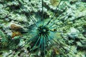 stock photo of echinoderms  - Underwater photography of a sea urchin on sea bed - JPG