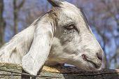 pic of peer  - Smiling Kinder Goat peers through the fence - JPG