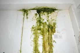image of spores  - Green mold on the white ceiling and wall with two light switch on the right  - JPG