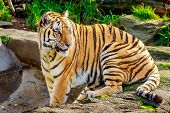 Постер, плакат: Amur Tiger