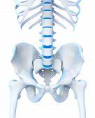 Постер, плакат: Human Spine Anatomy