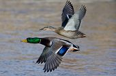 Pair Of Mallard Ducks Flying Low Over The River poster