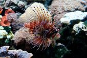 Red lionfish (Pterois volitans)
