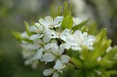 Spring Cherry Blossom (flowers).