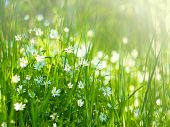 Meadow With Meadow Grasses And Delicate White Little Flowers In The Sunlight On A Summer Day. poster