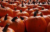 foto of jack-o-laterns-jack-o-latern  - Many large orange pumpkins at harvest time - JPG