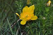 Yellow Pulsatilla Pratensis (small Pasque Flower)
