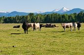 picture of klamath  - Cattle in a field near Fort Klamath Oregon - JPG