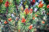 Pine Cone And Needles On Fir Tree In Krakow, Poland poster