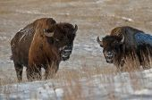 stock photo of aurochs  - Two wild Buffalo in Theodore Roosevelt National Park - JPG