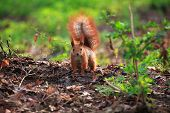 Cute And Furry Squirrel On The Ground In Spring City Park poster