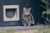 Blind Tabby Cat Sitting In Front Of A Doggie Door And Looking Away. poster