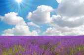 stock photo of lavender field  - lavender field with cloudy sky and sun in the background - JPG