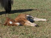 A Pretty Shetland Pony Foal Asleep In A Paddock. poster