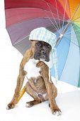 Boxer Puppy With Umbrella On A White Background