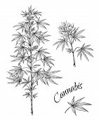 Hand Drawn Cannabis. Linear Sketch Of Marijuana Branch Leaves And Cones. Vector Artwork Hemp Plant B poster