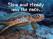 A Daily Motivation Quote With Slow And Steady Win The Race With A Green Sea Turtle Ocean Background  poster