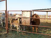 foto of brahma-bull  - Baby brahma bull and other cow eating dinner - JPG