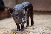 Funny Black Piglet On A Farm Looking At The Camera With Curiosity. Little Baby Black Pig In Sty At F poster