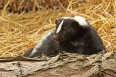 stock photo of skunks  - A closeup photo of a little skunk - JPG