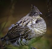 Ruffed Grouse Perdrix