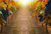 Grapes In Vineyard In Autumn Landscape. Winery Agriculture And Wine Tasting Concept. poster