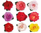 Collection Roses On White Background. Roses Red, Beige, Purple, Pink, White, Coral, Yellow, Orange-y poster