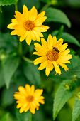 Bright Yellow Blooming Flower With A Bee. Closeup Of A Flower With Yellow Petals. Yellow Garden Flow poster