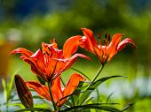 Colorful Yellow-red  Asiatic Hybrid Lily Close Up On Blurred Bokeh Green Background In Backlight poster