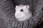 White Hamster Sitting In A Gray Knitted Scarf