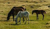 Semi feral horses grazing
