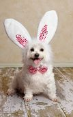 pic of bunny costume  - Cute little dog wearing bunny ears and matching sequin bow tie in a rustic setting. Suitable for easter or fancy dress halloween.